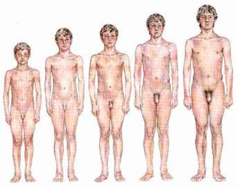 puberty O tamanho do pênis e a relação com a altura